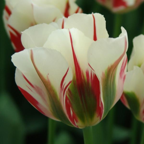 Tulipe Flaming Spring Green