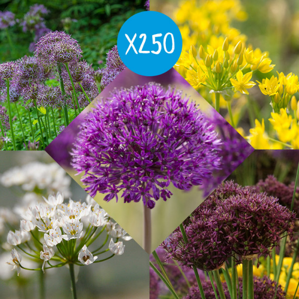 Collection de Bulbes Allium à 250