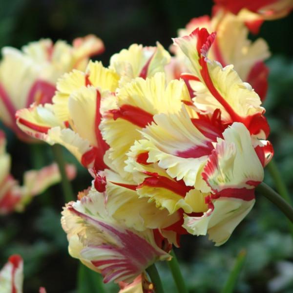 Tulipe Flaming Parrot