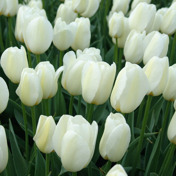 Emballage XL Tulipe Pays Bas®