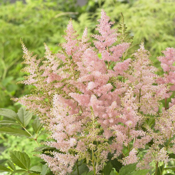 Astilbe Japonica 'Europa'