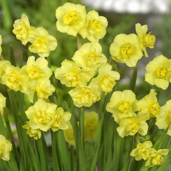 Jonquille Yellow Cheerfullness