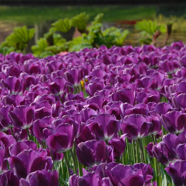Tulipe Negrita