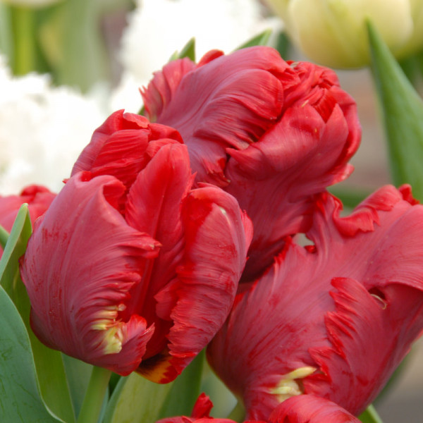 Tulipe Pionier®