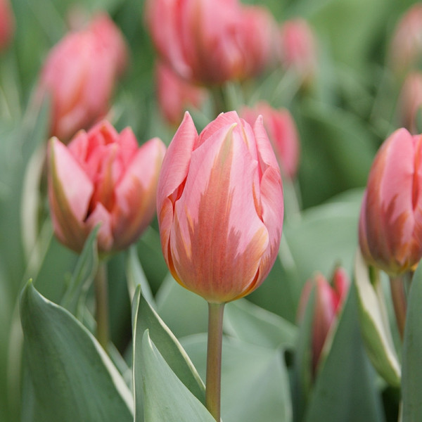 Tulipe Pretty Princess