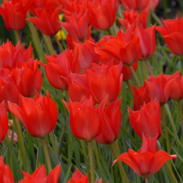 Tulipe Linifolia
