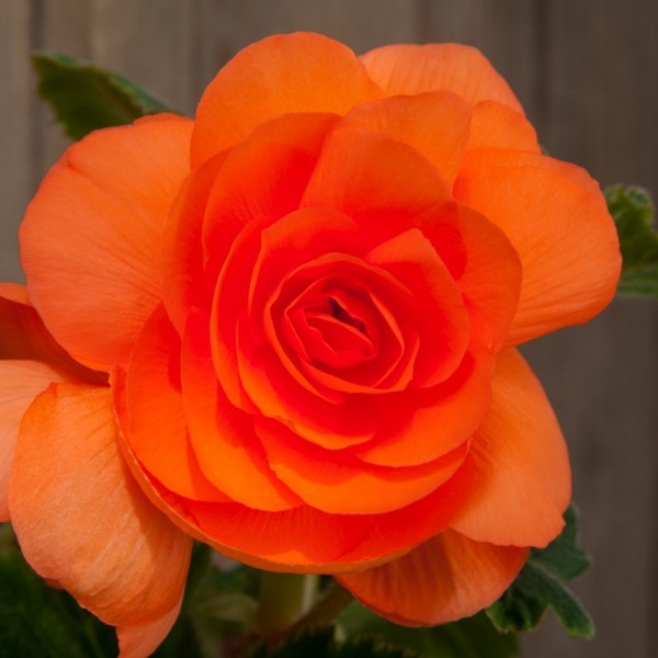 Bégonia double orange