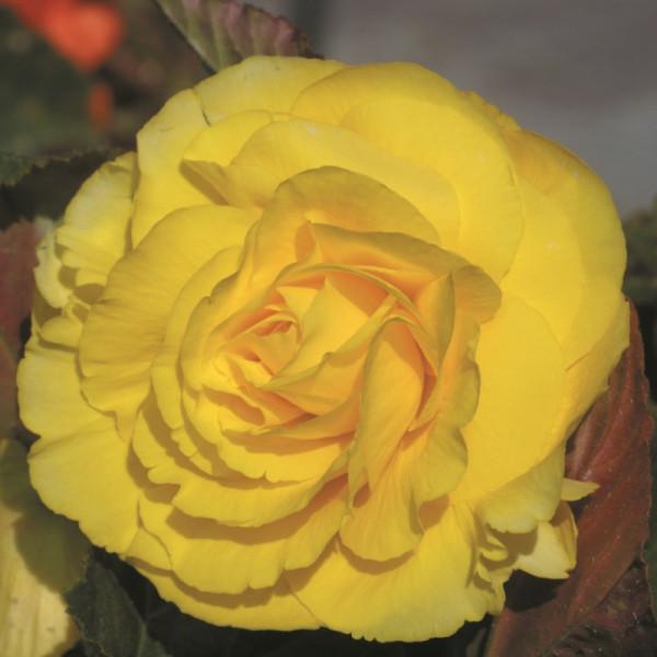 Bégonia double jaune