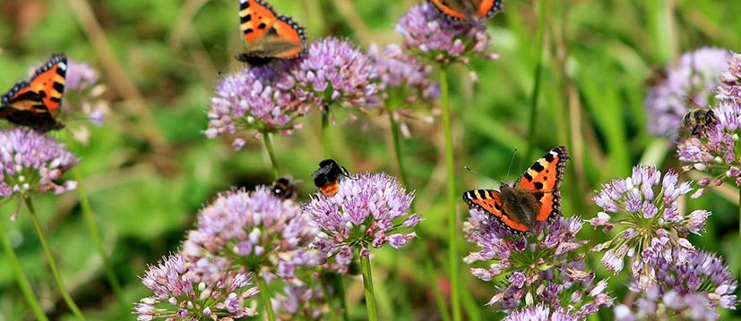 Plantes pour abeilles et papillons
