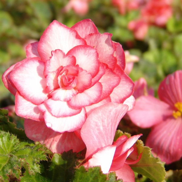 Bégonia Bouton de Rose