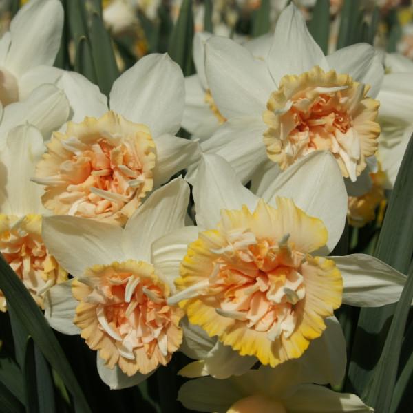 Narcisses Petit Four