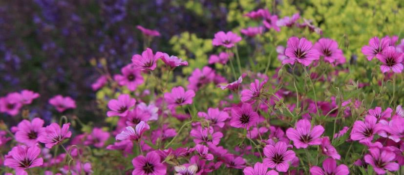 Plantes alpines et rocheuses