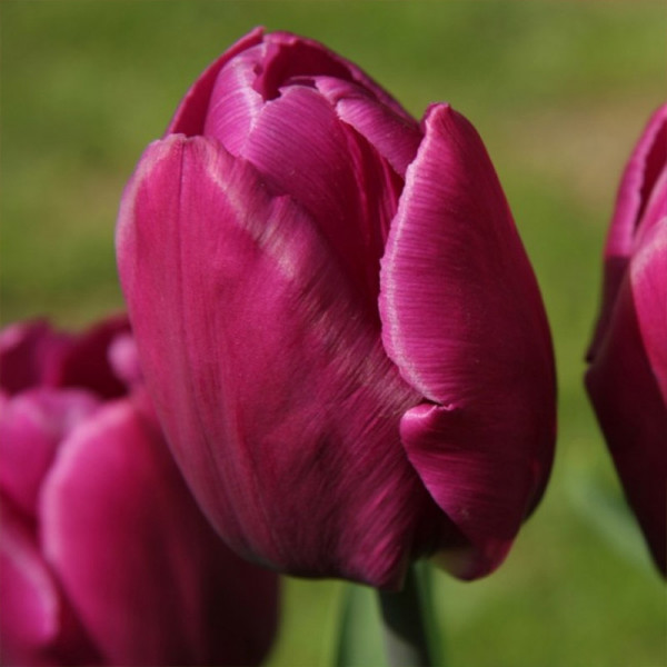 Emballage XL Tulipe Purple Prince®