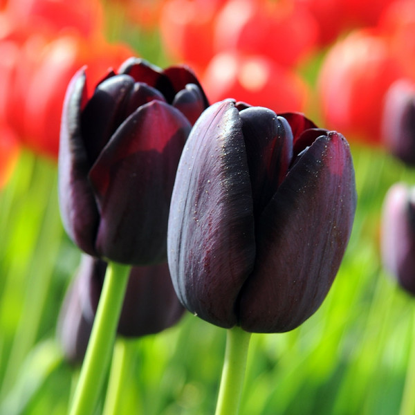 Emballage XL Tulipe Queen of Night