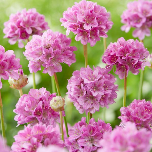 Gazon d'Espagne (Armeria) 'Ballerina Lilac'