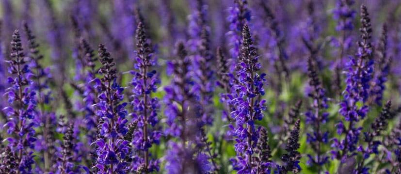 Plantes parfumées