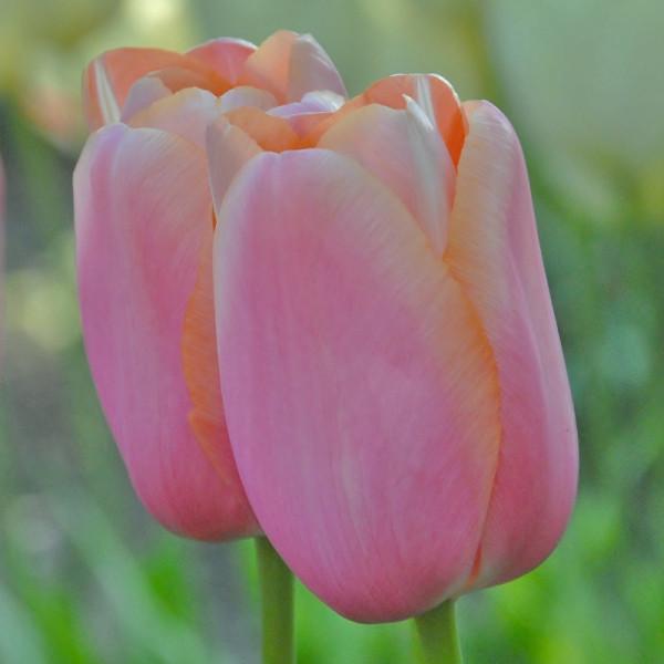 Tulipe Menton