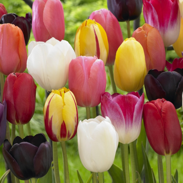 Mélange de tulipes à floraison tardive