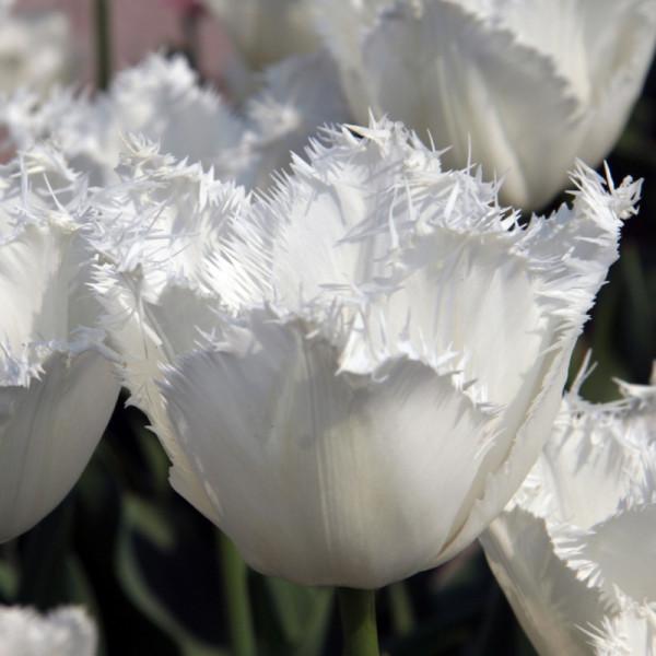 Tulipe Honeymoon