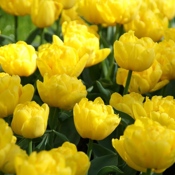 Tulipe Yellow Baby