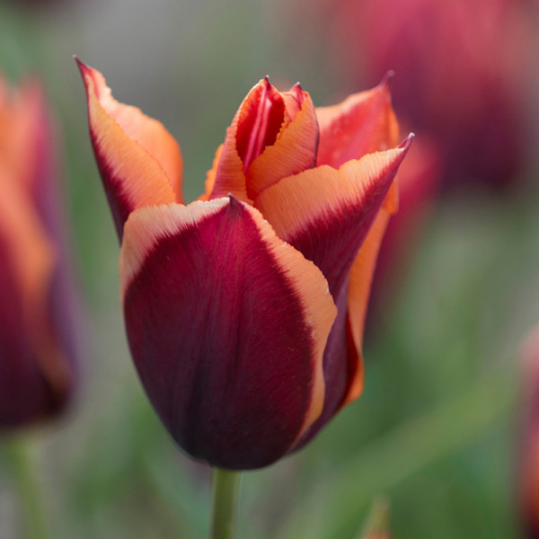 Tulipe Slawa