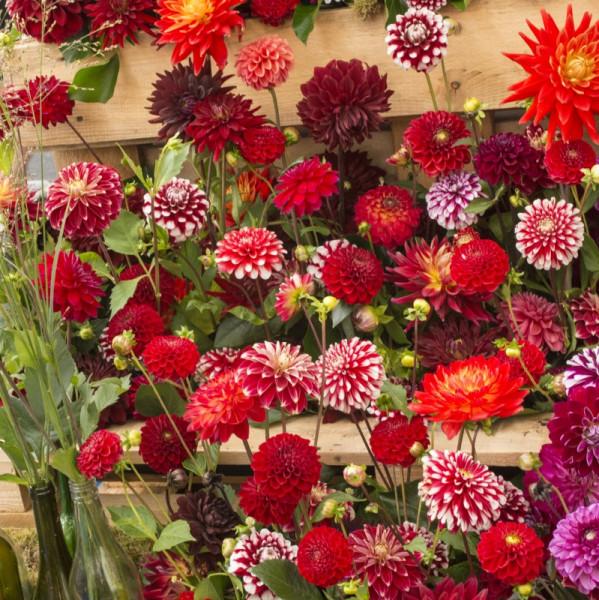 Rouge et Bicolore Dahlia mélange