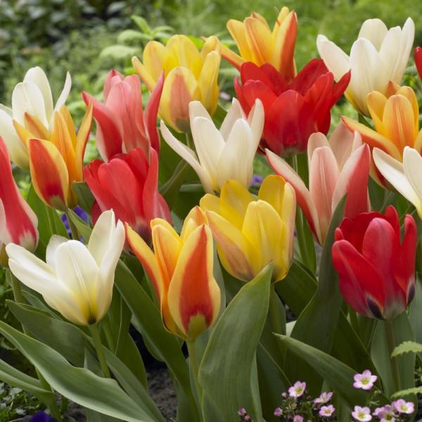 Mélange de tulipes à floraison précoce