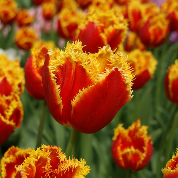 Tulipe Davenport®