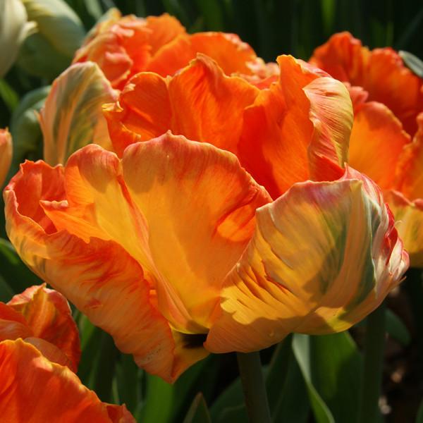 Tulipe Professor Röntgen