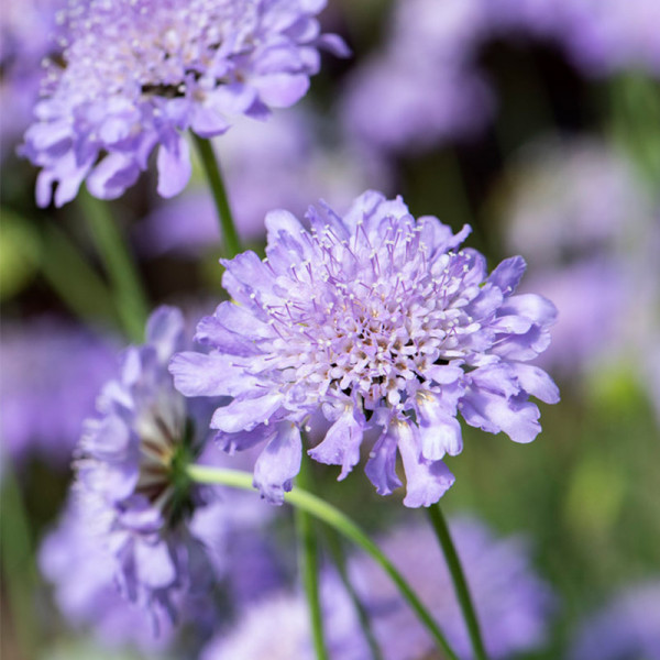 Scabieuse (Scabiosa col.) 'Butterfly Blue'