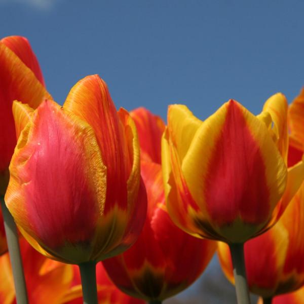 Tulipe Flair