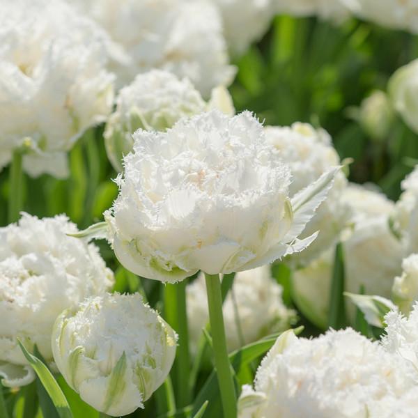Tulipe Snow Crystal