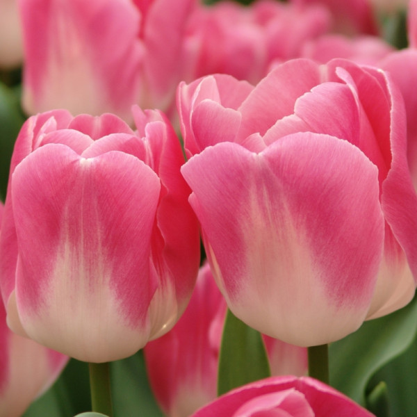 Tulipe Innuendo