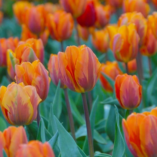 Emballage XL Tulipe Prinses Irene