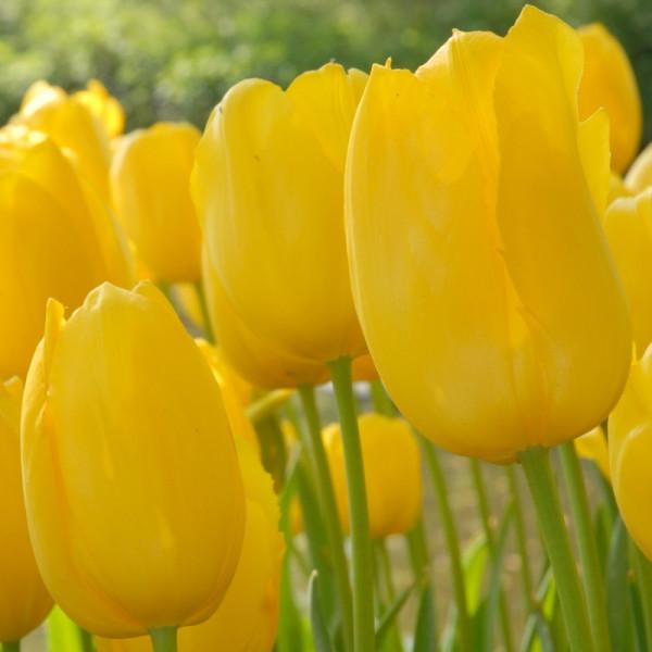 Tulipe Roi du Midi
