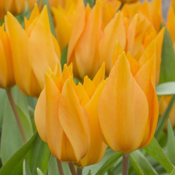 Tulipe praestans Shogun