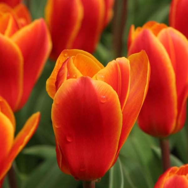 Tulipe Early Harvest