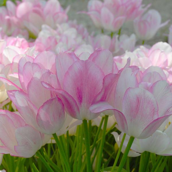 Tulipe Candy Club