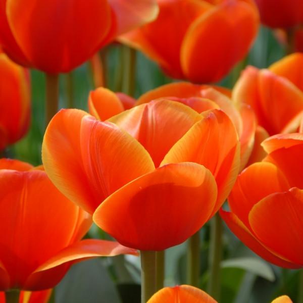 Tulipe Ad Rem
