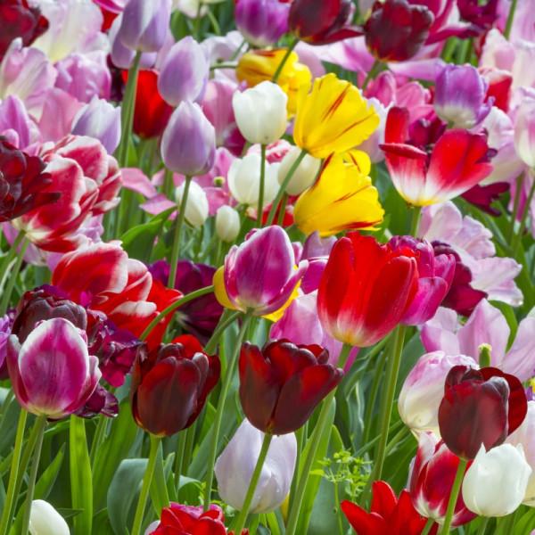 Tulipe Triumph melange