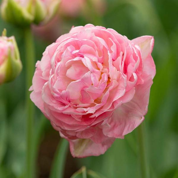 Tulipe Only Me