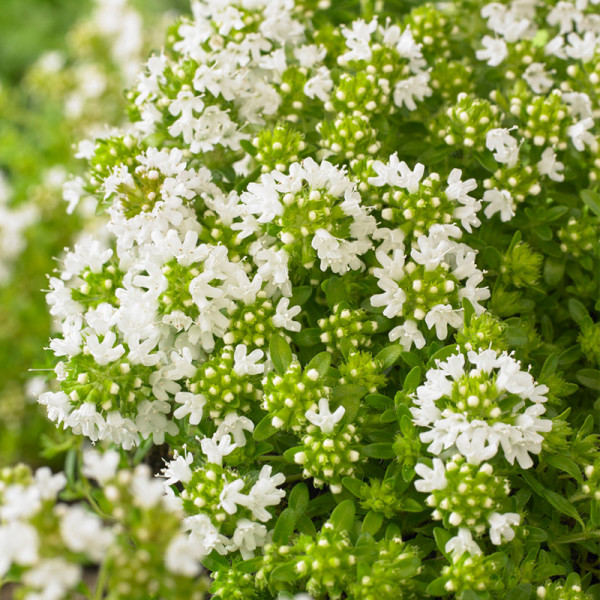 Thym (Thymus praecox) 'Albiflorus'