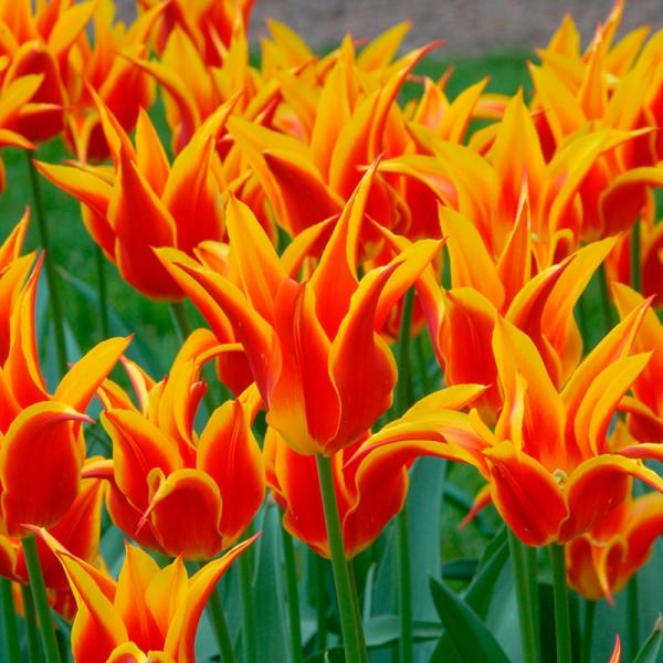 Tulipe Fly Away