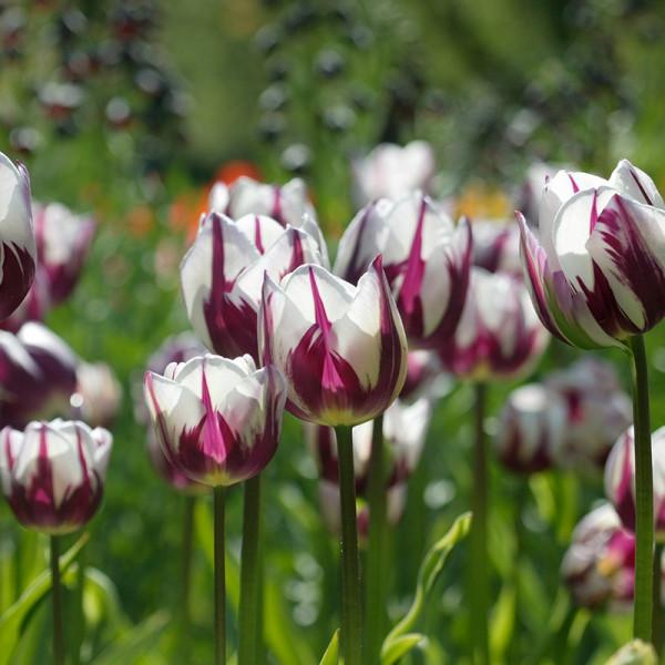 Emballage XL Tulipe Rem's Favourite
