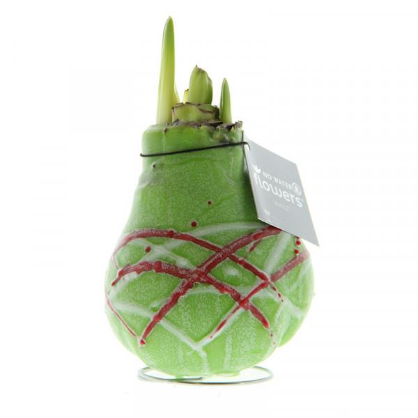 Wax Amaryllis Picasso Vert