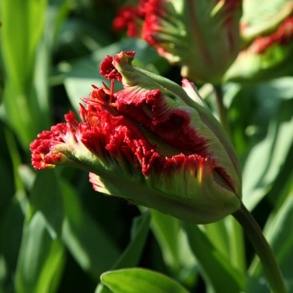Tulipe Exotic Parrot