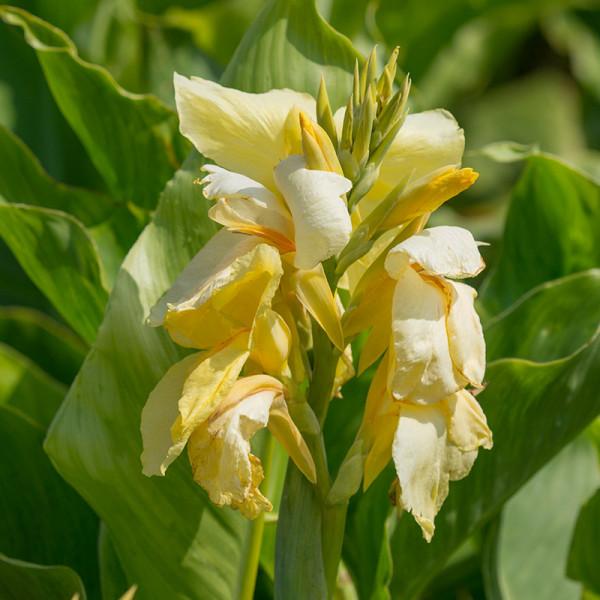 Canna Vanilla Cream