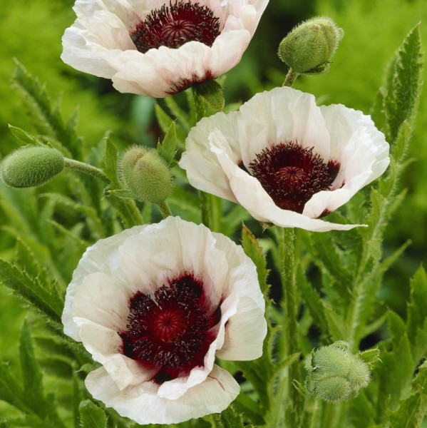 Papaver Orientale 'Perry's White'