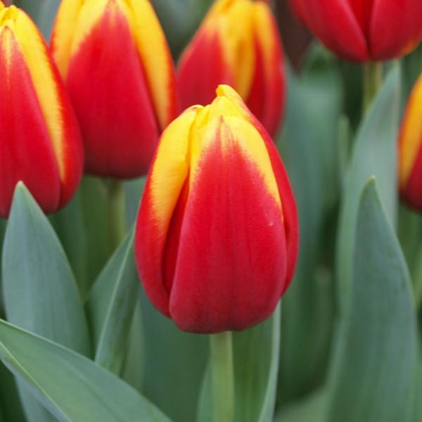 Tulipe André Citroen