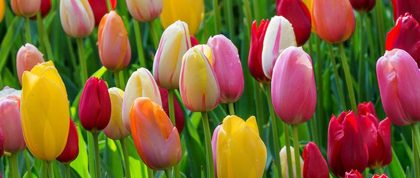 Bulbes de printemps